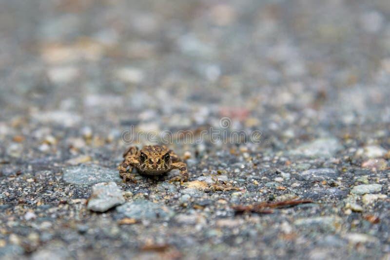 Jeune crapaud occidental minuscule émigrant à travers la traînée perdue de lac du lac perdu à la forêt alpine, Whistler, la Colom images libres de droits