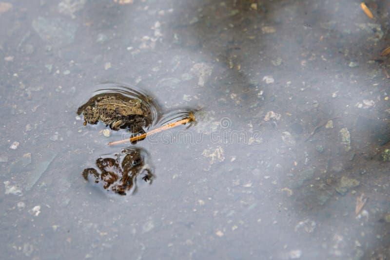 Jeune crapaud occidental minuscule, dans un magma de pluie, émigrant à travers la traînée perdue de lac du lac perdu à la forêt a photo stock