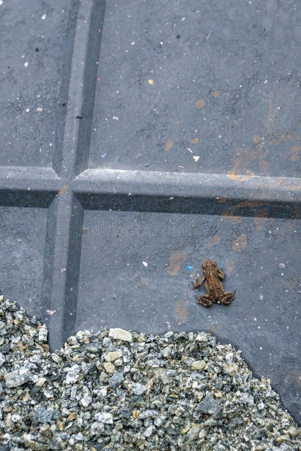 Jeune crapaud occidental minuscule sur un ponceau protecteur sur la plage de lac Lost, pour aider la migration de crapaud du lac  image stock