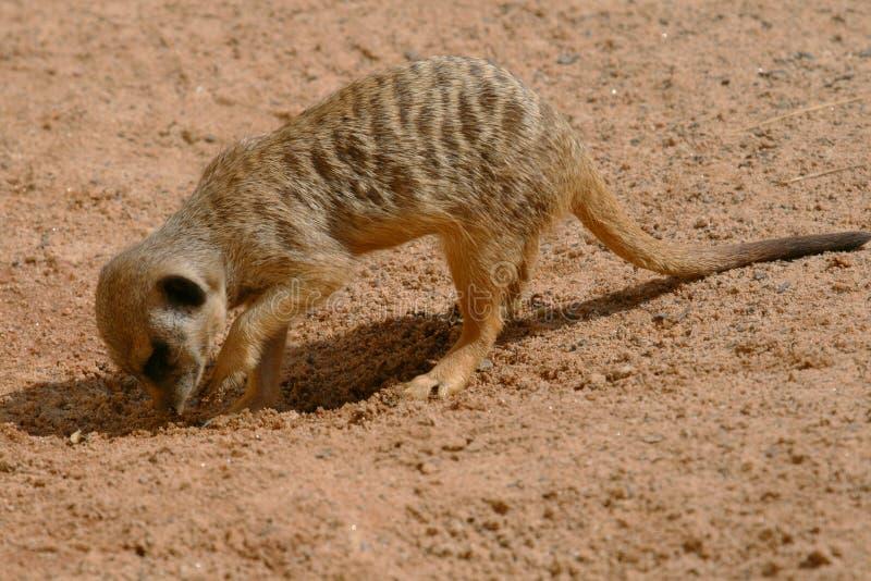 Jeune creusement de meerkat images stock