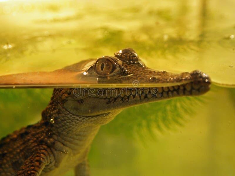 Jeune crocodile images libres de droits