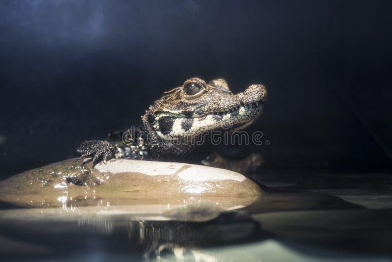 Jeune crocodile nain (tetraspis d'Osteolaemus) images libres de droits
