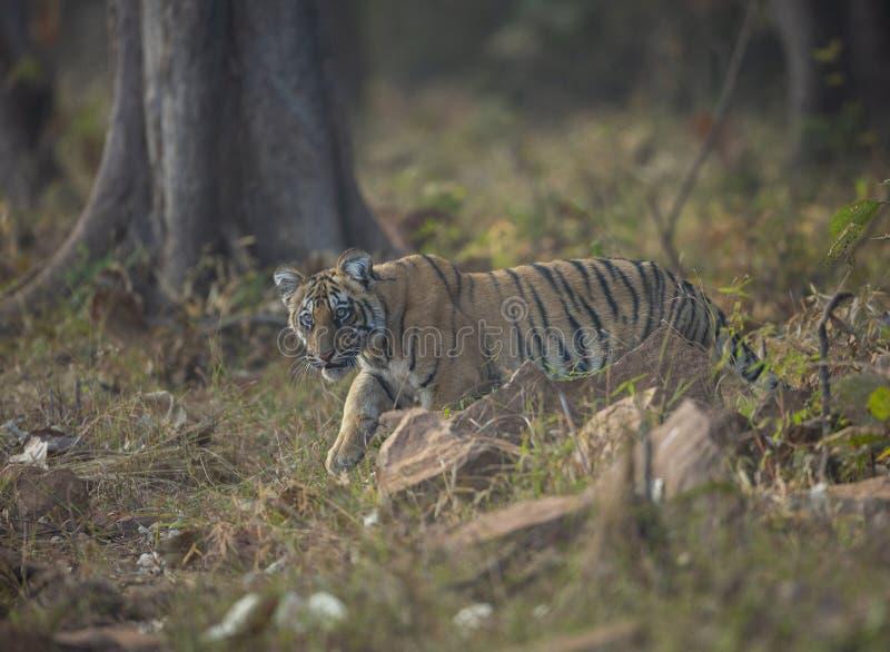 Jeune CUB de Choti Tara chez Tadoba Andhari Tiger Reserve, Chandrapur, maharashtra, Inde photographie stock