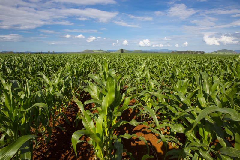 Jeune culture de maïs photo stock