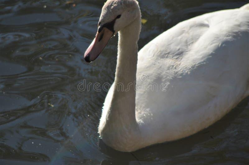 Jeune cygne dans l'eau de la fin, de l'oiseau d'eau gris en détail avec le bec et des yeux au beurre noir à un lac dans l'habitat photos stock