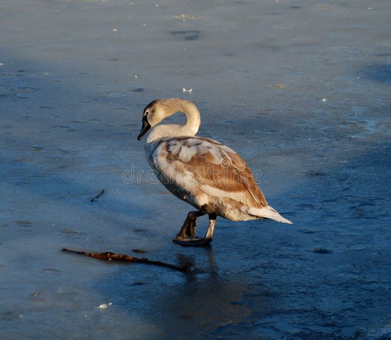 Jeune cygne sur la glace photos stock