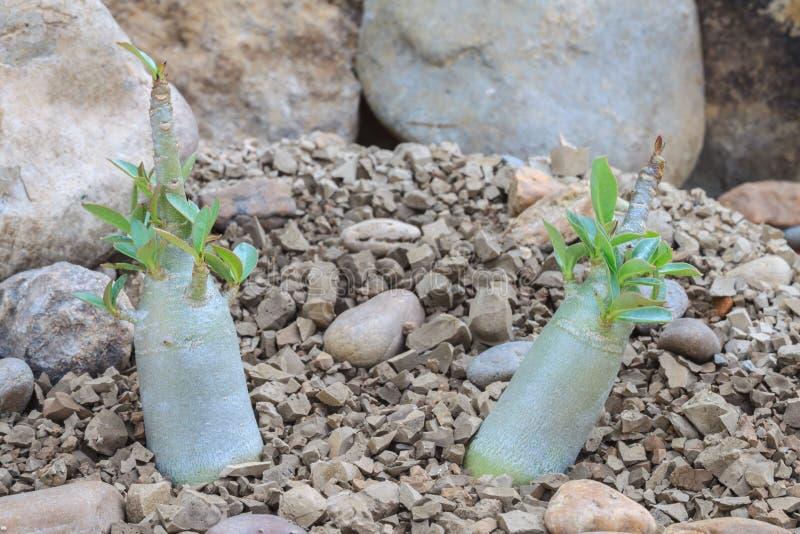 Jeune désert Rose d'obesum d'Adenium photographie stock libre de droits