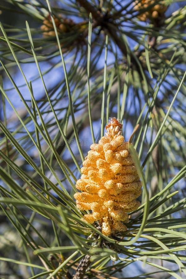 Jeune détail en pierre de cône de pin (Pinus pinea) images stock