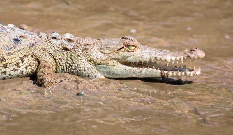Jeune d'acutus de Crocodylus de crocodile américain image libre de droits