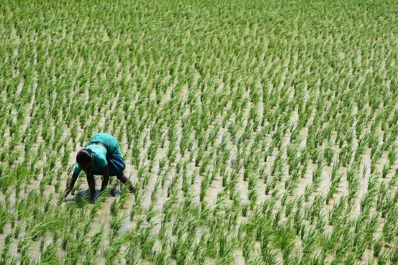 Jeune dame indienne sur un gisement de riz sous le soleil dur photographie stock libre de droits