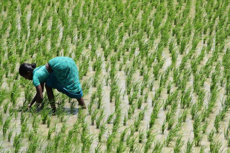 Jeune dame indienne sur un gisement de riz sous le soleil dur photographie stock