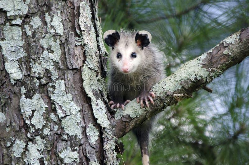 Jeune de Virginia Opossum dans l'arbre photo libre de droits