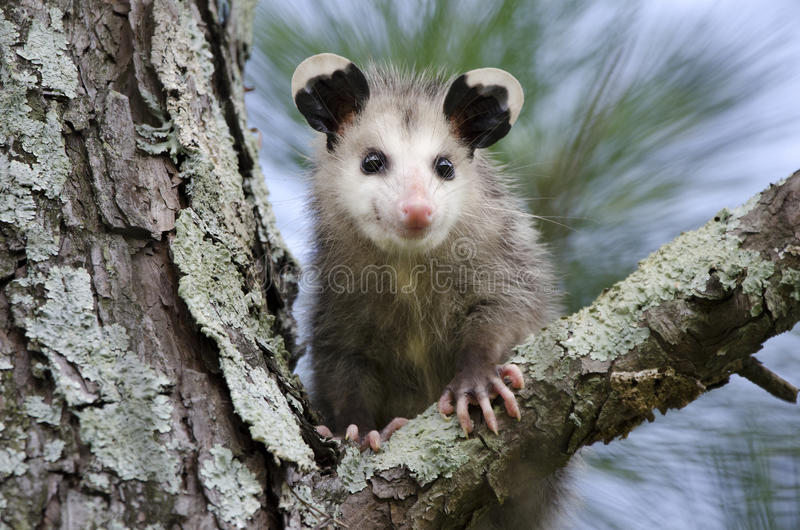 Jeune de Virginia Opossum dans l'arbre images libres de droits