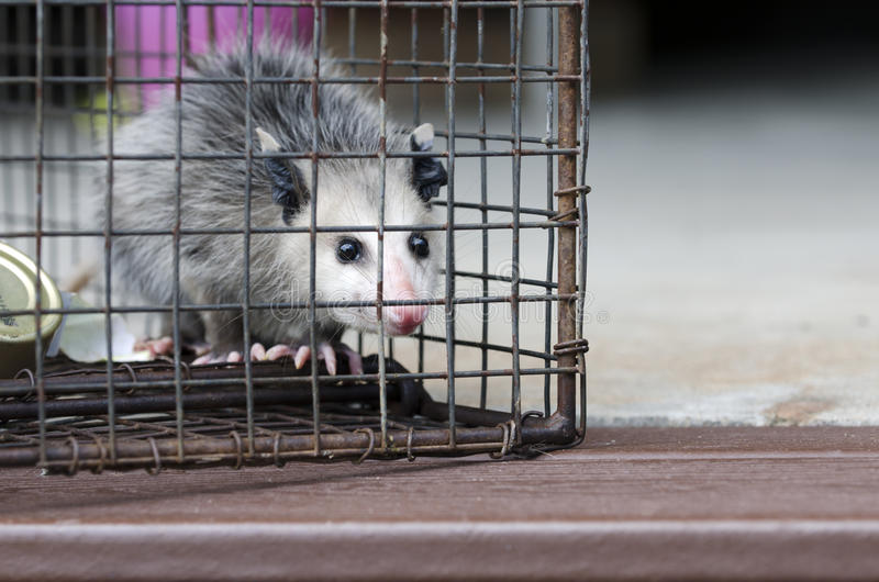 Jeune de Virginia Opossum dans le piège humanitaire de cage de raton laveur photo libre de droits