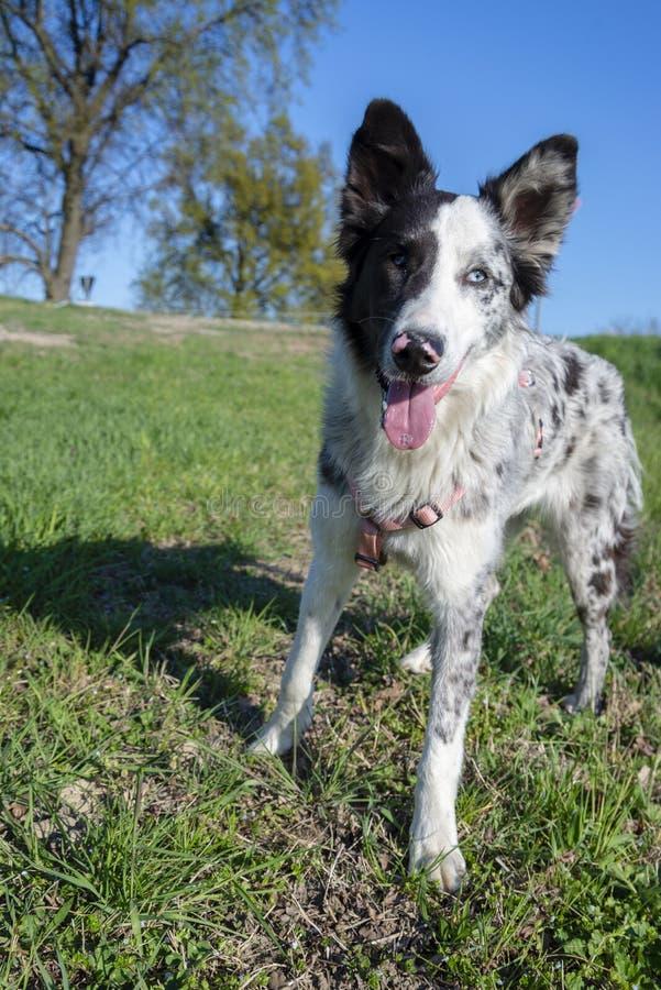 Jeune et heureux chien de moutons image libre de droits