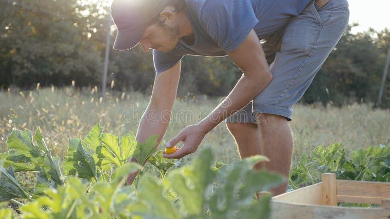 Jeune exploitant agricole moissonnant un potiron de buisson dans la boîte en bois au champ de la ferme organique images stock