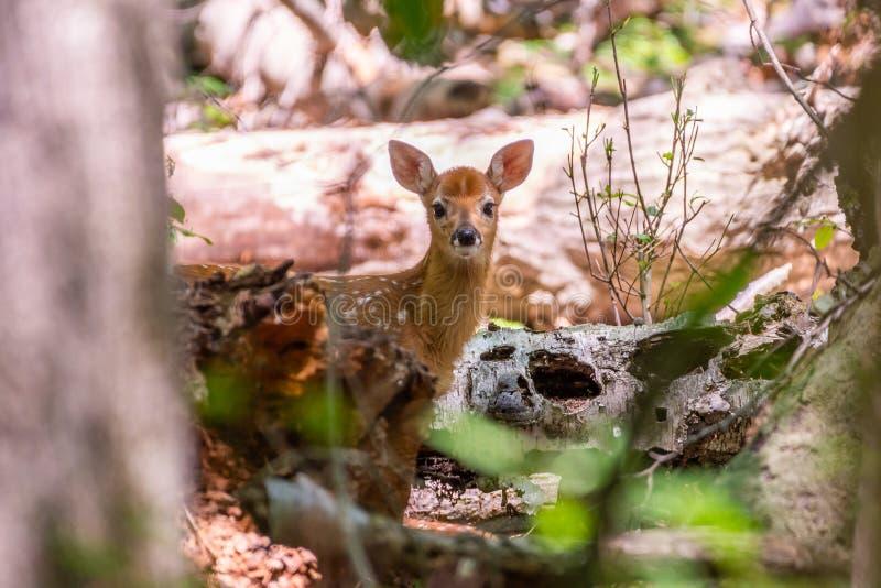 Jeune faon de whitetail dans les bois images libres de droits