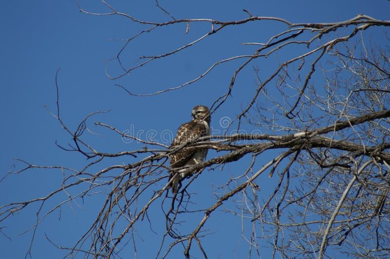 Jeune faucon dans l'arbre photo stock