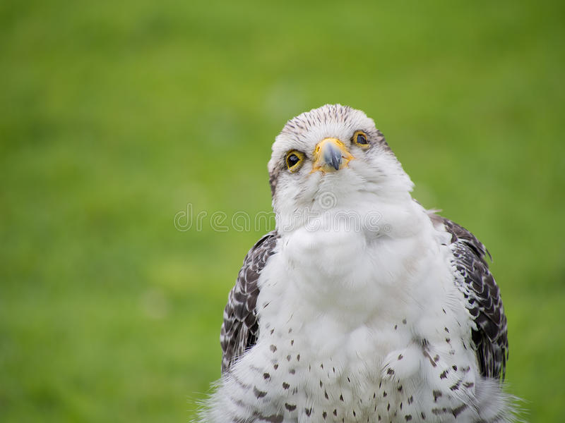 Jeune faucon de Gyr X Lanner dehors image stock