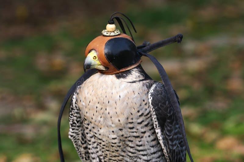 Jeune faucon pérégrin sauvage avec le chapeau photographie stock