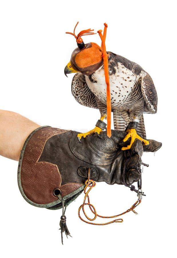 Jeune faucon sauvage avec le chapeau sur le gant d'entraîneur d'isolement photo stock