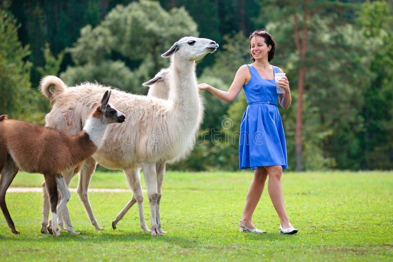 Jeune femme attirant alimentant un groupe de lama image stock