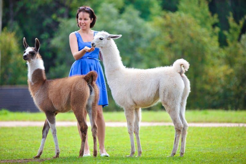 Jeune femme attirante alimentant deux lamas photo libre de droits