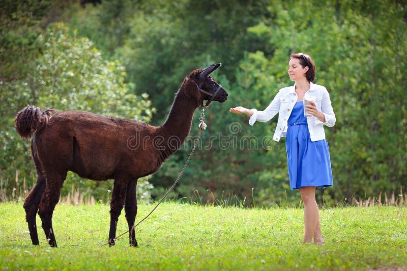 Jeune femme attirante alimentant un alpaga brun photos libres de droits