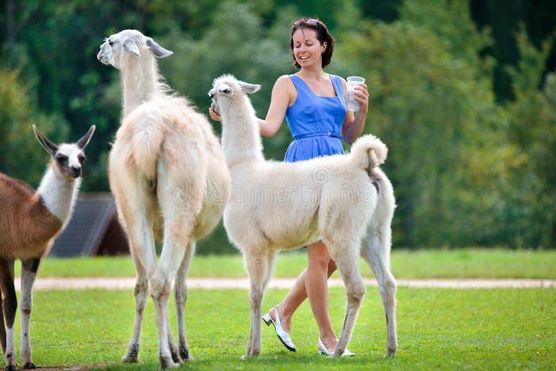 Jeune femme attirante alimentant un groupe de lama photo stock
