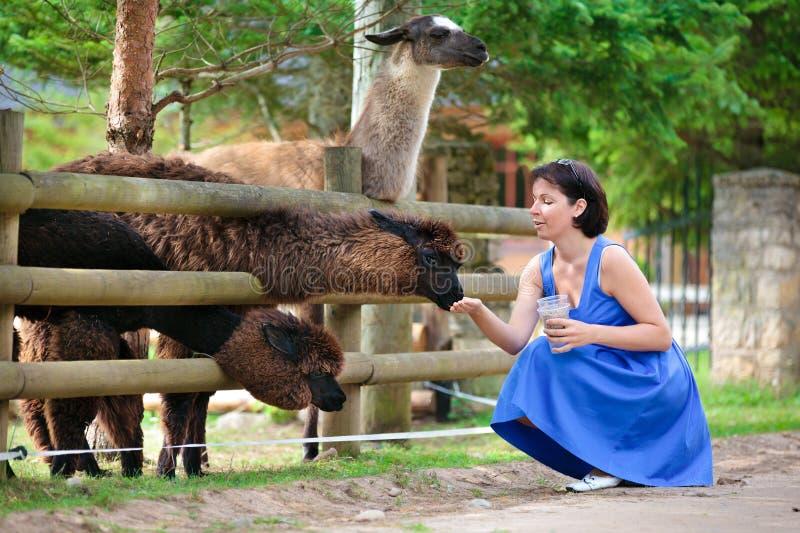 Jeune femme attirante alimentant un groupe de lama image libre de droits