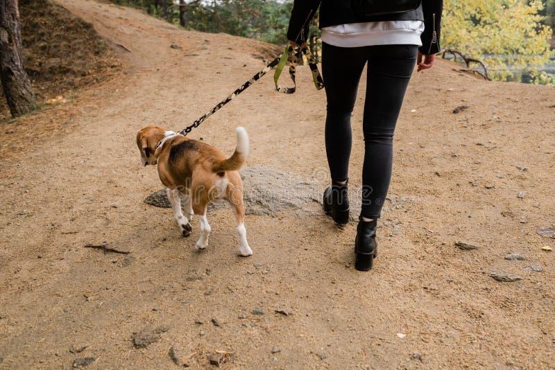 Jeune femme décontractée propriétaire du chiot beagle et de l'animal de compagnie descendant dans la route de la forêt images libres de droits