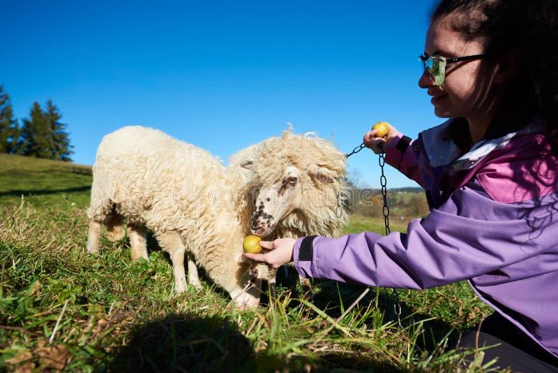 Jeune femme de sourire dans des lunettes de soleil donnant des pommes aux moutons blancs frôlant dans le pré herbeux vert photos libres de droits
