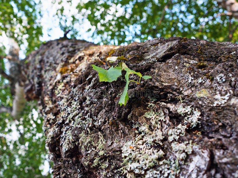 Jeune feuille sur un arbre de bouleau photographie stock libre de droits