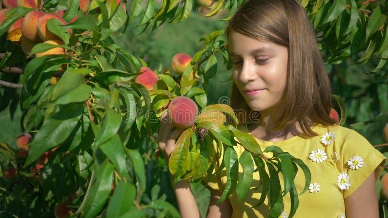 Jeune fille mignonne appréciant l'arome des pêches mûres sur un pêcher dans le jardin images stock