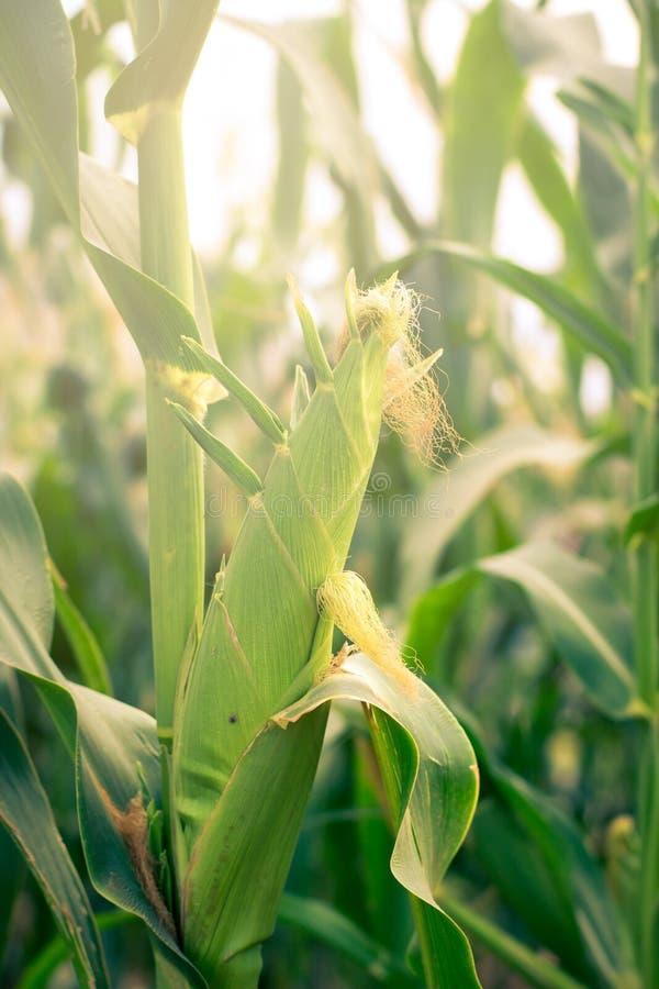 Jeune fin de maïs  image stock