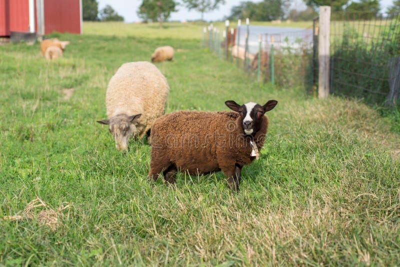 Jeune Finn Lamb Looking Up While mâchant l'herbe image libre de droits