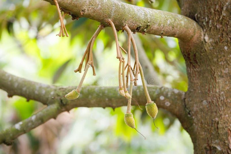 Jeune fruit de durian sur l'arbre photos libres de droits