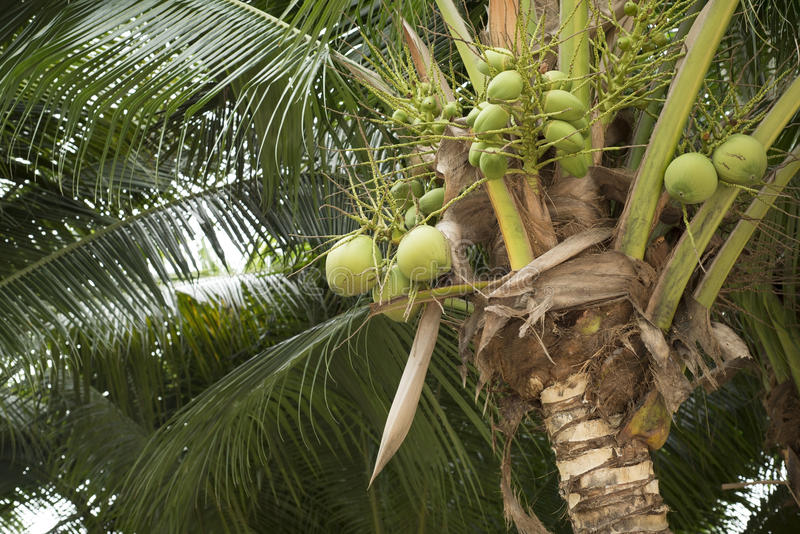 Jeune fruit vert de noix de coco sur l'arbre de noix de coco photo stock
