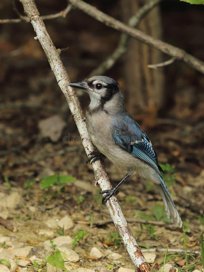 Jeune geai bleu photographie stock