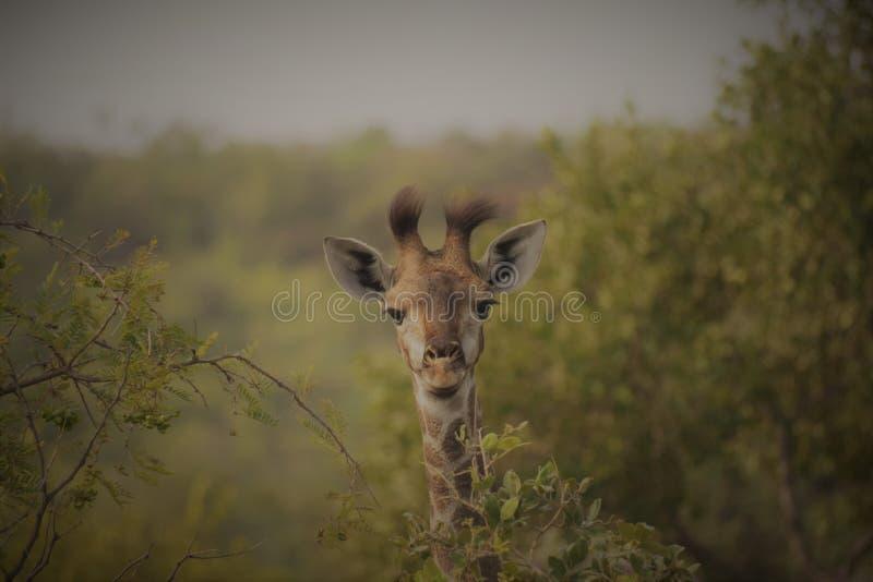 Jeune girafe avec de grands cheveux photo stock