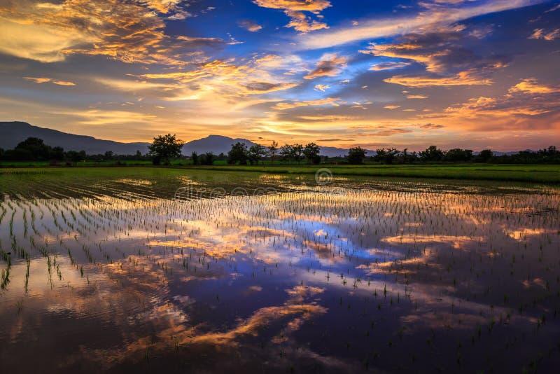 Jeune gisement de riz contre le ciel reflété de coucher du soleil image stock