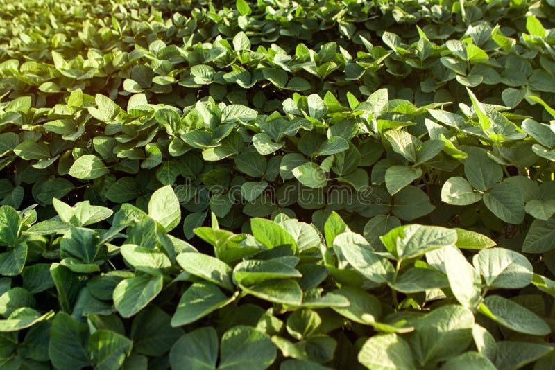 Jeune gisement sain de soja image stock