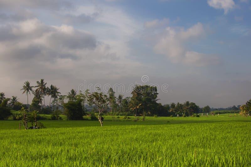 Jeune gisement vert de riz au lever de soleil Ubud, Bali, Indonésie Beaux gisements verts de riz, beau tropical naturel photo libre de droits