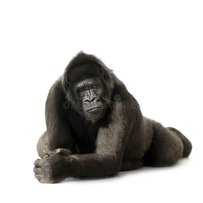 Jeune gorille de Silverback image libre de droits