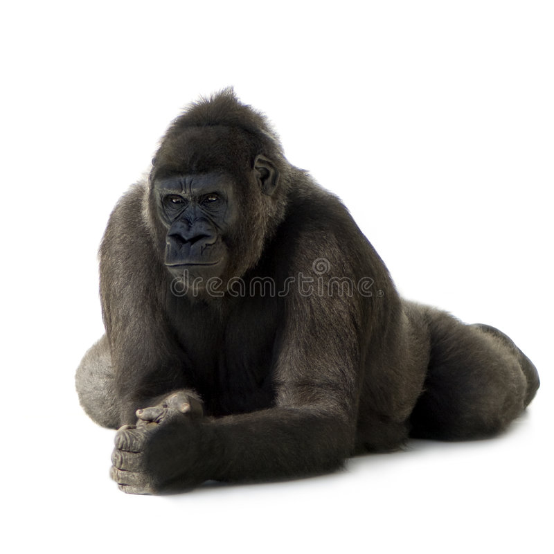 Jeune gorille de Silverback photo stock