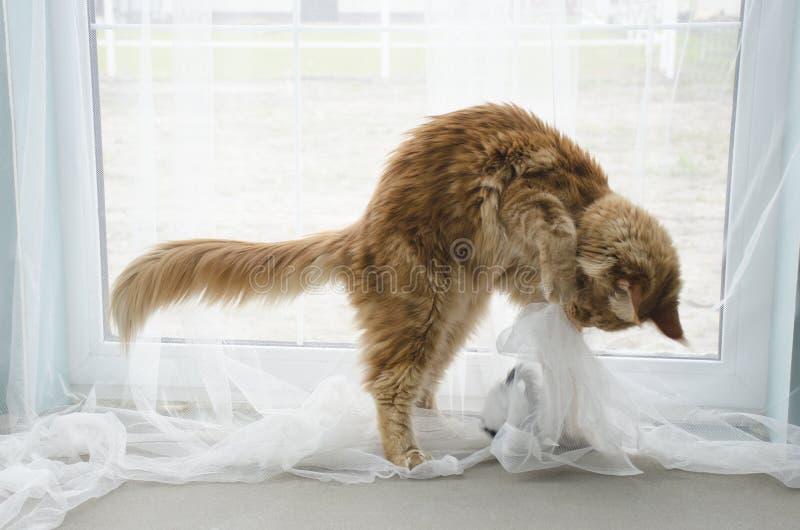 Jeune grand chat de ragondin de marbre rouge de Maine jouant avec un jouet image stock