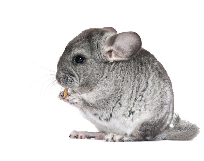 Jeune, gris chinchilla. Est isolé. image stock