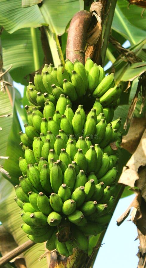 Jeune groupe vert de banane avec des feuilles sur l'arbre photo stock