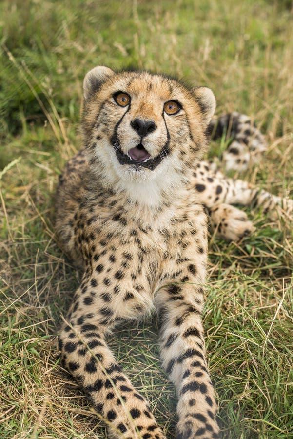 Jeune guépard photo libre de droits