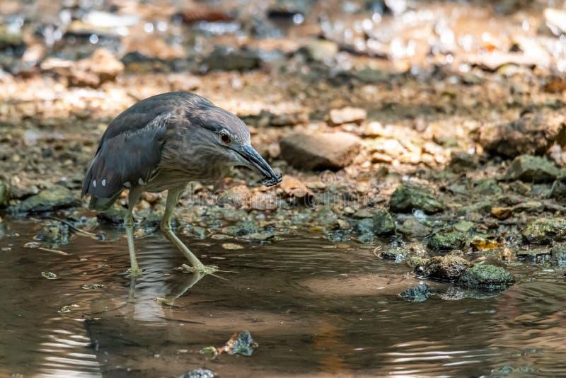Jeune héron de nuit Noir-couronné pataugeant dans le courant d'eau peu profonde photographie stock